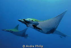 formation flight of mobula rays - Azores by Andre Philip 